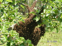 Bee_swarm_collected_6-09