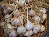 White_rose_garlic